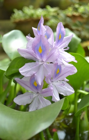 introduced: Crochet flower,Water hyacinth,Water hyacinth is introduced without home decor beautifully  Stock Photo