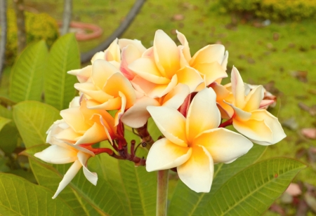 Dok Champa Laos  Frangipani Laos national flower photo