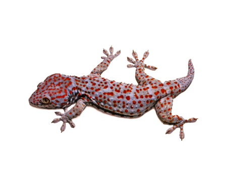 Clay-footed pet Gecko  nocturnal lizard  Can a smooth wall-based island  Many kinds of the tricky issue at night  photo