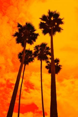 three palm trees: Group of towering palm   Asian Palmyra palm, Toddy palm, Sugar palm, Cambodian palm, Borassus,  Arecaceae