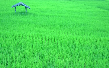 Rice field The rice  Rice Green photo