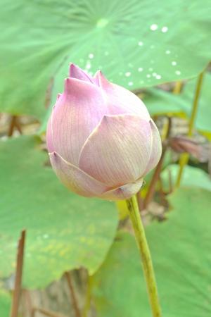 Pink Lotus  Bualuang pink photo
