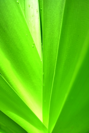 Texture   Leaves  Green Leaf The plants   The view is different and beautiful Stock Photo - 22445558