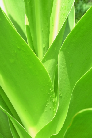 Texture   Leaves  Green Leaf The plants   The view is different and beautiful  Stock Photo - 22445560