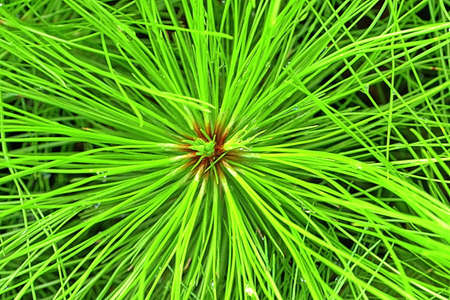 larvae: The larvae of the pine trees, The amount of pine trees Stock Photo