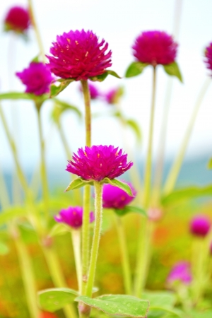 Globe-amaranth-or-Gomphrena-globosa photo