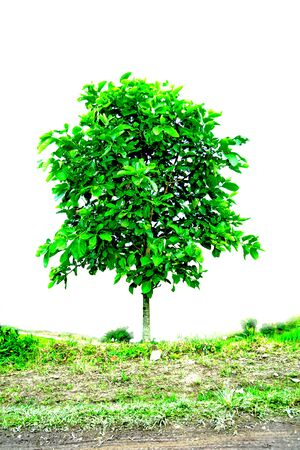 distinctive: A single tree,Perennial plants are distinctive  Stock Photo