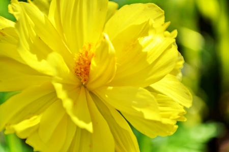 Cosmos, Mexican aster, Cosmos sulphureus Cav , Compositae Yellow cosmos flowers, Field of Yellow cosmos flowers in Thailand photo