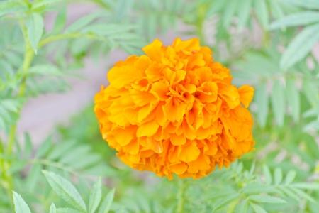 spp: Marigolds, Tagetes spp , COMPOSITAE Marigolds in the flowerbed, Marigolds in the flowerbed  Fine sunny day