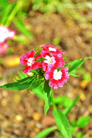 chinensis: Dianthus chinensis flower Stock Photo