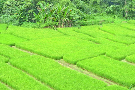 green rice field,Rice field in Thailand in the agriculture industry concept photo