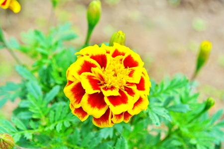 compositae: Marigolds, Tagetes spp , COMPOSITAE Marigolds in the flowerbed, Marigolds in the flowerbed  Fine sunny day