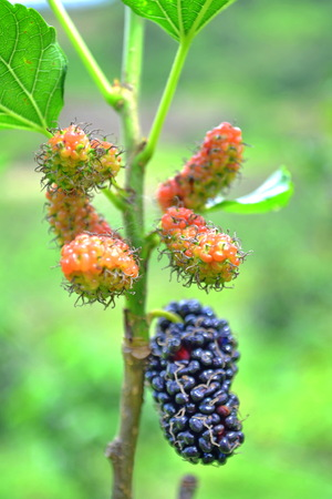 Mulberry Berry Fruit for juice and white production photo