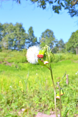 siam weed,Weeds that copious beautiful  photo