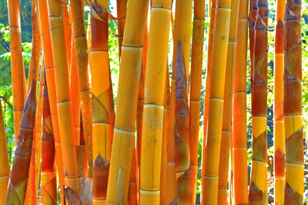 Bamboo trees A close up shot of stem ofThe yellow  bamboo photo