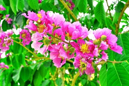 pers: Queen s crape myrtle , Pride of India,Lagerstroemia speciosa  L   Pers ,LYTHRACEAE Stock Photo