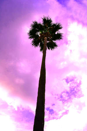 cambodian palm: Gruppo di torreggianti palme asiatico Palmyra palma, Toddy palma, zucchero di palma, cambogiano palma, Borassus, Arecaceae