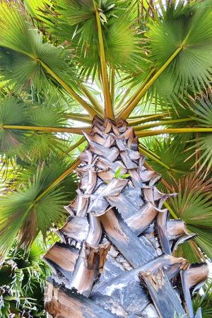 cambodian palm: Gruppo di torreggianti palma asiatica Palmyra palma, Toddy palma, zucchero di palma, palma cambogiana, Borassus, Arecaceae