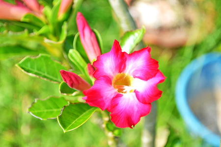 bignonia Desert Rose; Impala Lily; Mock Azalea photo