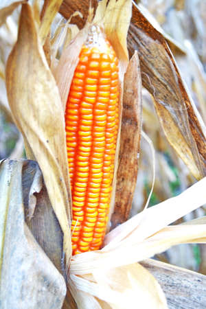Close up of dried corn on stalk photo