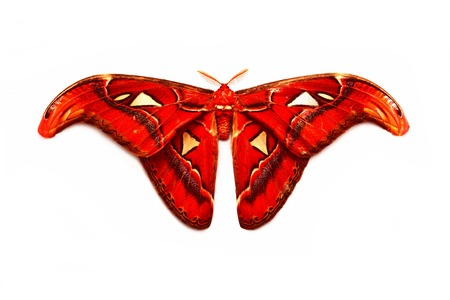 Moth, Butterfly in the middle of the night, Attas, Attacus atlas, Attacus atlas moth in front of a white background photo