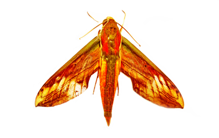 Moth, Butterfly in the middle of the night, Attas, Attacus atlas, Attacus atlas moth in front of a white background Stock fotó