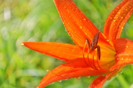 gladiolus: Gladiolus  Stock Photo