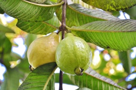 Guava, Psidium guajava Linn  photo