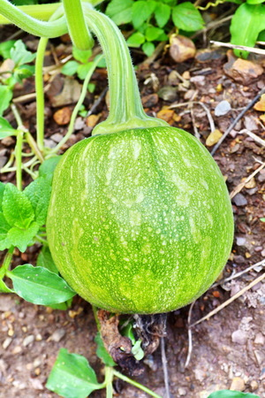 Green Pumpkin  photo