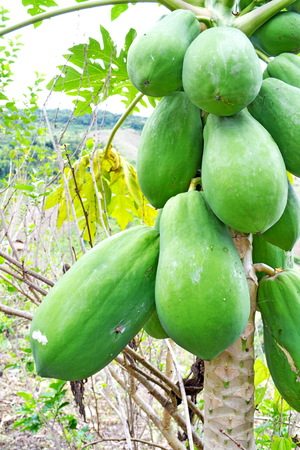 Papaya in orchard farmers   photo