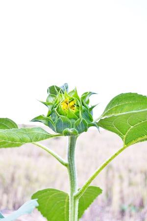 compositae: Common Sunflower, Helianthus annuus, COMPOSITAE