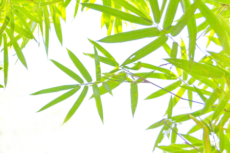 Green bamboo background  photo