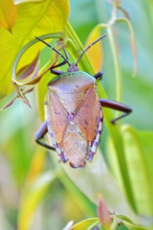 Stink  Bugs, Longan stink bug, Tessaratoma papillosa  , Homoeocerus sp , Coreidae, Hemiptera, photo