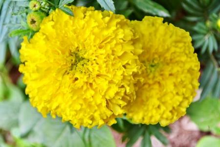 spp: Marigolds, Tagetes spp , COMPOSITAE