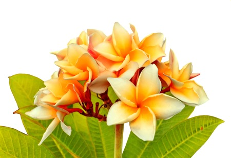 Frangipani, Dok Champa Laos,National flower of Laos  photo