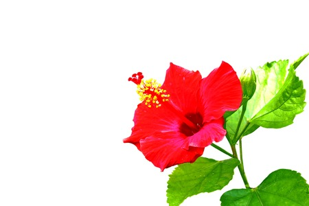 Hibiscus isolated on white photo