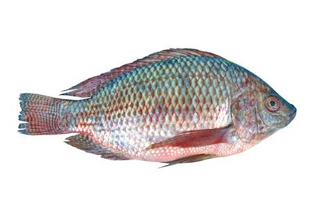 nile tilapia: Pesce Tilapia del Nilo su sfondo bianco