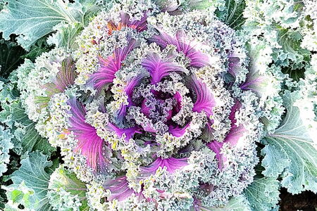 leaved: ornamental leaved Kale Longlived Cabbage are a beautiful