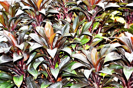 cordyline: Close-up shots of brightly colored