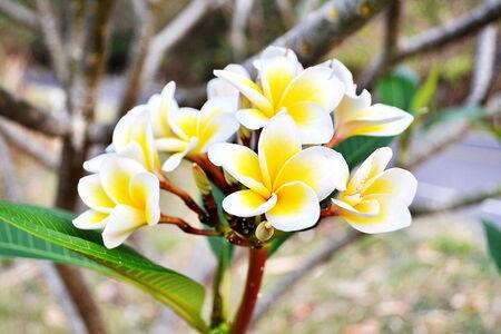 Beautiful white frangipani flowers in tropical garden photo