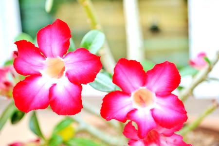 Desert rose Floral background  Tropical flower Pink Adenium photo