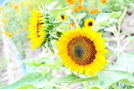 helianthus annuus: Common Sunflower, Helianthus annuus, COMPOSITAE