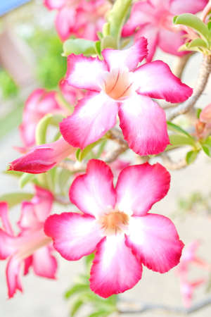 Desert rose or Ping Bignonia flower tree photo