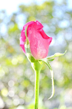 Close up view of beautiful pink rose photo