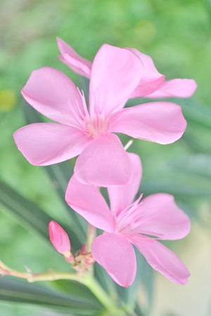 Pink Nerium oleandes L  flower with leave  photo