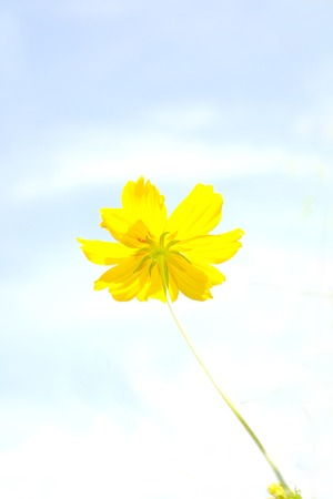Yellow cosmos flower  photo