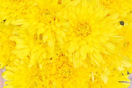 yellow chrysanthemum isolated background photo