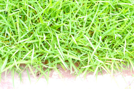 grass is green  The pictures can be used for creative work in the background and beautiful photo