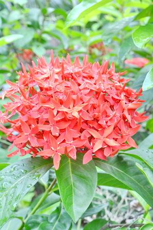 Red Ixora, West Indian Jasmine - Ixora spp   photo