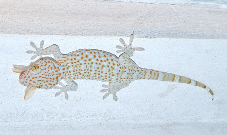 gecko  Gekkonidae Clay-footed pet Gecko  nocturnal lizard  Can a smooth wall-based island  Many kinds of the tricky issue at night photo